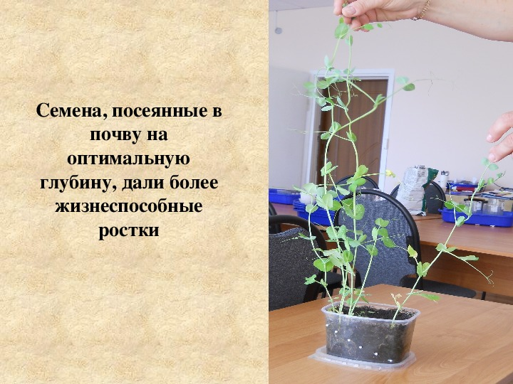 """Исследовательская работа  по биологии """"Зависимость жизнедеятельности проростка от количества питательных веществ и глубины заделки семян"""", 6 класс"""