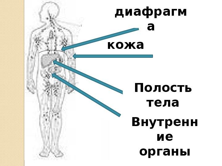 """Презентация к уроку """"Системы органов"""""""