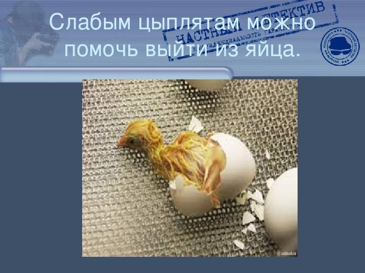 """Научно-исследовательская работа """"Мой цыпленок"""""""