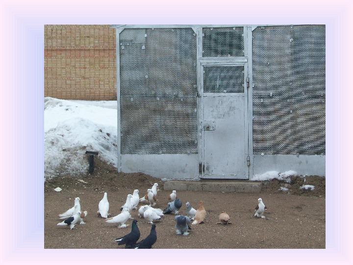 Исследовательская работа на тему Голубь птица моего города.
