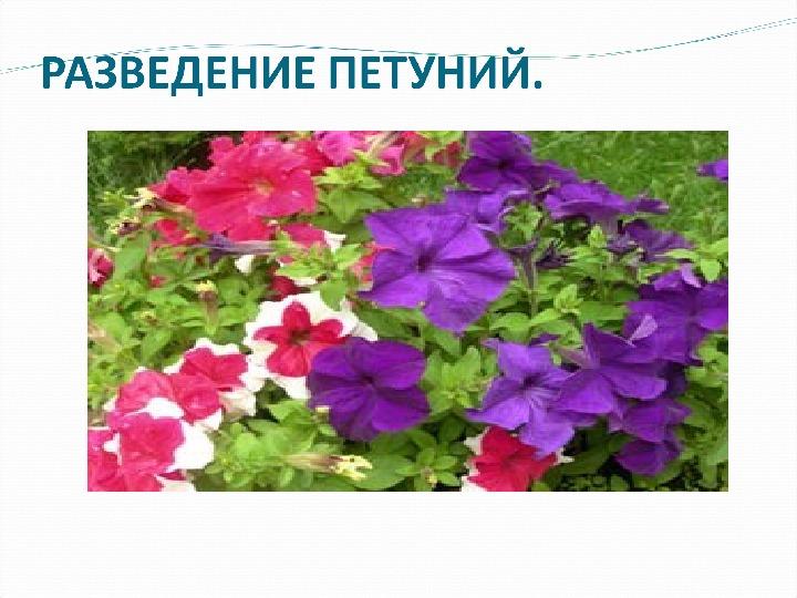 """Исследовательская работа на тему """" Уход и разведение цветов для клумб"""""""