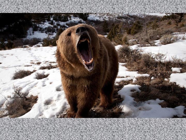 """Презентация на тему """"Хищники наших лесов - бурый медведь"""""""