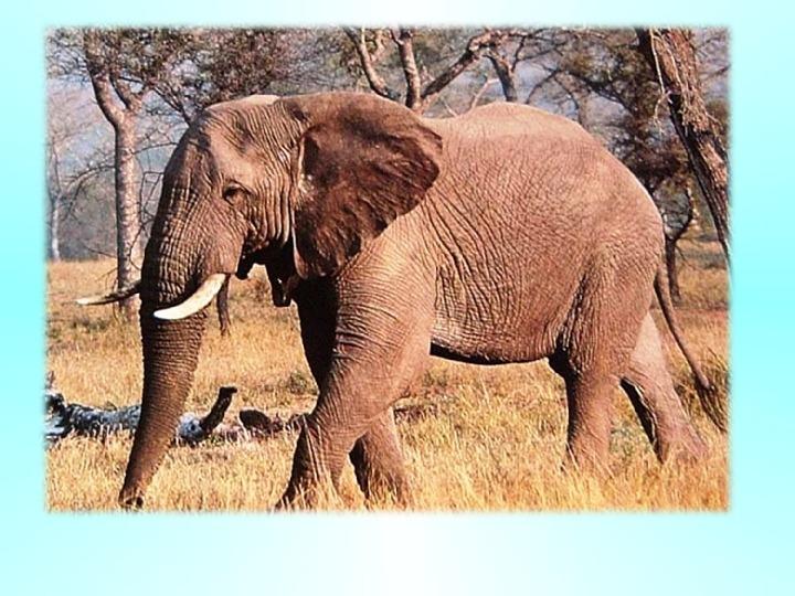 Урок Сила мечты и любви (по рассказу А. Куприна «Слон»)