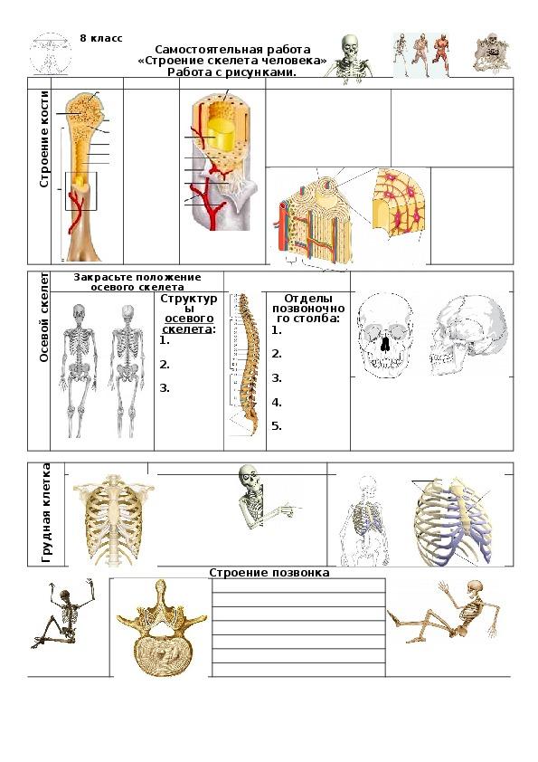 Самостоятельная работа по теме «Строение скелета человека». 8 класс.
