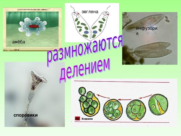 """Презентация по биологии на тему: """" Размножение организмов"""" ( 7 класс , биология)."""
