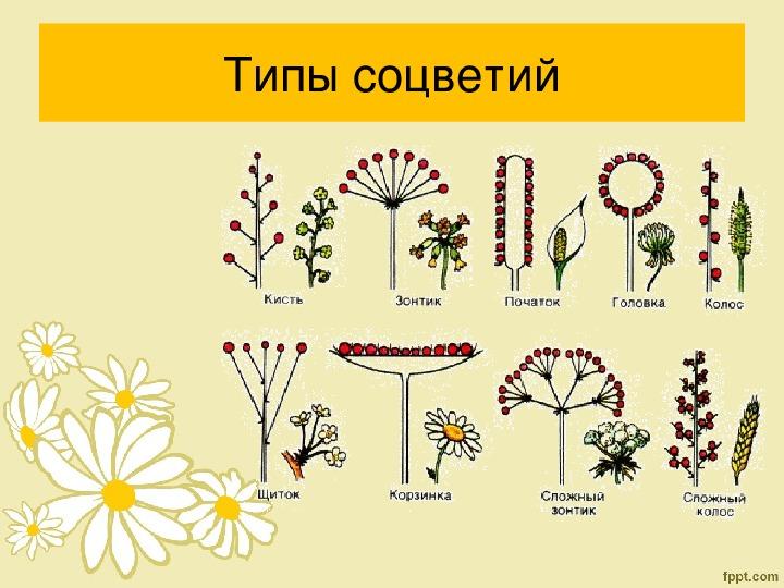 "Презентация по биологии на тему ""Соцветия"" (6 класс)"