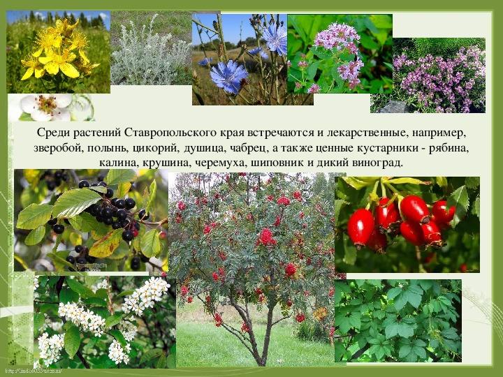 теме растения ставропольский край фото описание изучала