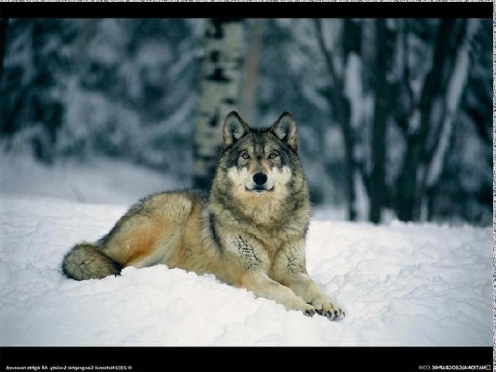"""Презентация на тему """"Хищники наших лесов - волк"""""""