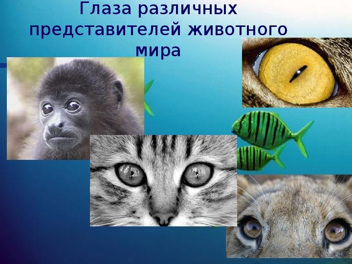 """Презентация """"Глаза различных представителей животного мира"""" (9 класс, элективный курс по физике)"""