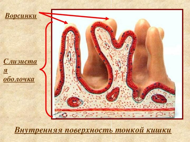 "Презентация на тему ""Пищеварение в кишечнике"" биология 8 класс"